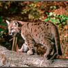 Cougar Kit on Log - Captive