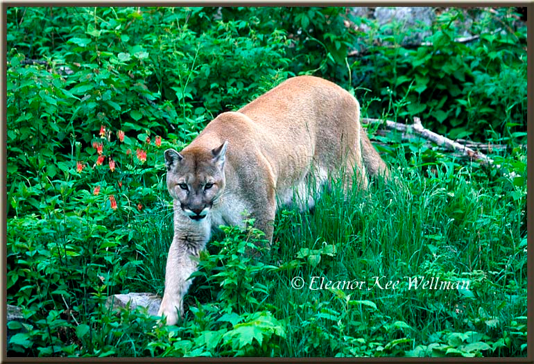 Cougar in Vegetation with Aquilegia canadensis - Captive