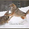 Brush Wolves/Eastern Coyotes, Aggression #2 - Captive