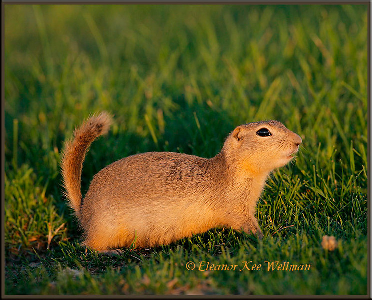 Richardson's Ground Squirrel, late sun.