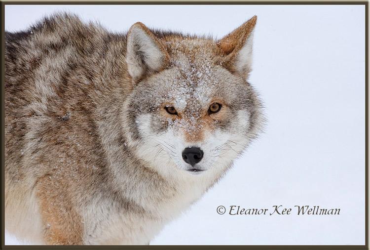 BrushWolf/Eastern Coyote, Portrait - Captive