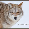 BrushWolf/Eastern Coyote, Portrait - Captive
