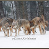 Brush Wolves/Eastern Coyotes, Pack Greeting #2 - Captive