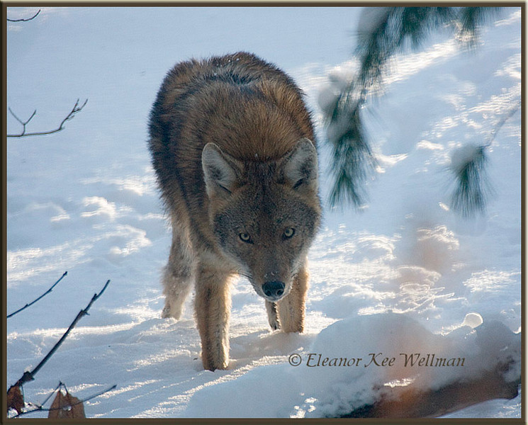 Eastern Coyote, Brush Wolf, Watching