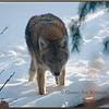 Eastern Coyote, Brush Wolf, Watching