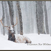 Bull Elk Resting in Snow.  Captive.