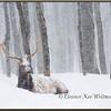 Bull Elk Resting in Snow.  Captive.