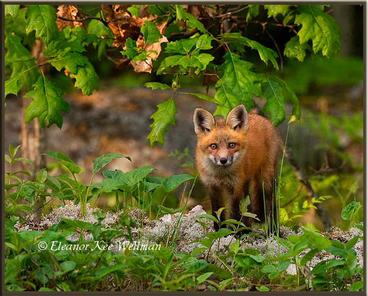Red Fox Kit Watching #2
