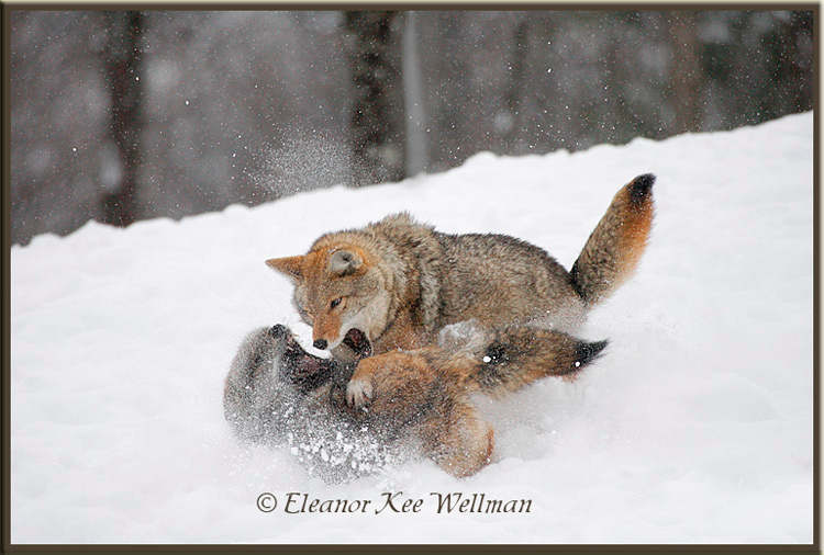 Brush Wolves/Eastern Coyote, Aggression Display #1 - Captive
