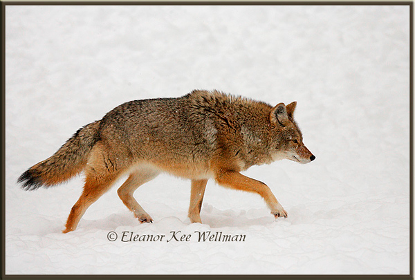 Brush Wolf/Eastern Coyote, Hackles Raised - Captive