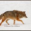 Brush Wolf/Eastern Coyote, Hackles Raised - Captive