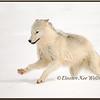 Arctic Wolf Running #2 - Captive