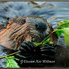 Beaver Adult with Poplar Branch
