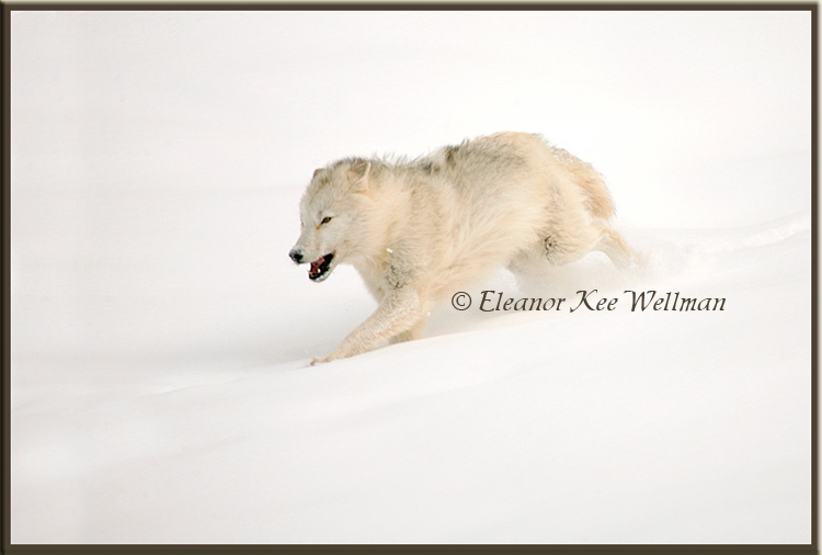Arctic Wolf Running #3 - Captive