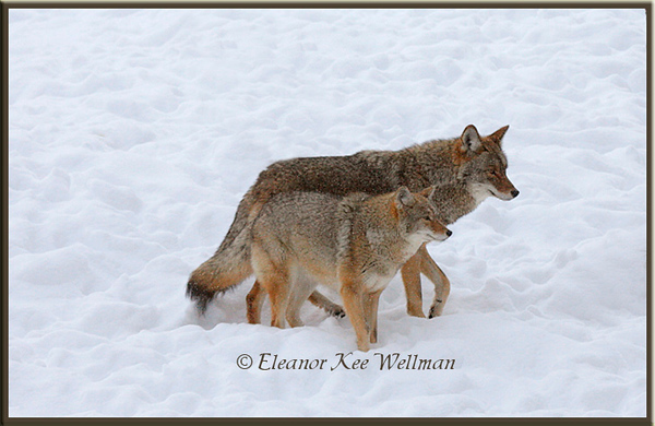 Brush Wolf/Eastern Coyote, Size Difference - Captive