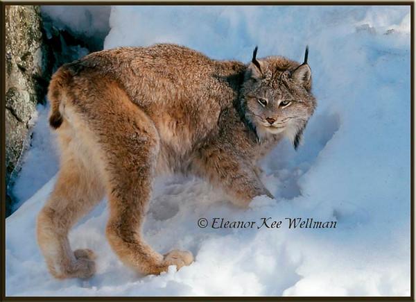 Canadian Lynx in snow - Captive