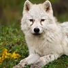 Arctic Wolf Cub Portrait - Captive