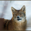 Eastern Coyote, Brush Wolf, Portrait