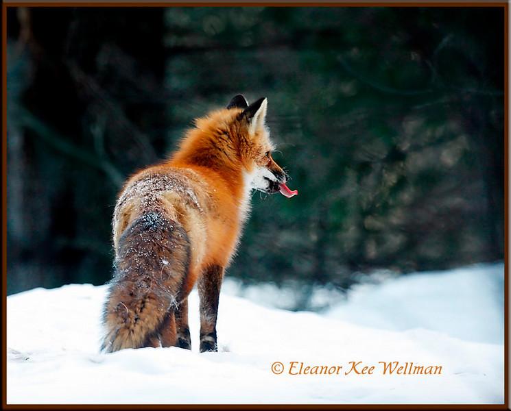 Red Fox Raspberry