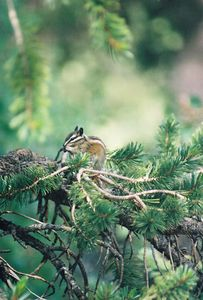 7/8/00 Alpine Chipmunk. Onion Valley Campground near site#18, Inyo National Forest, Eastern Sierra, Inyo County, CA