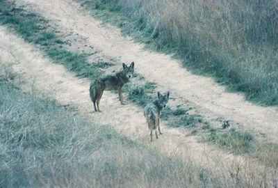 2/29/04 Coyote (Canis latrans). Avenida La Cresta (unpaved section) near intersection with Tenaja Rd. Murrieta, Riverside County, CA