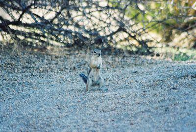 9/20/03 Antelope Ground Squirrel. Jumbo Rocks, campsite#6B, Joshua Tree National Park, San Bernardino County, CA
