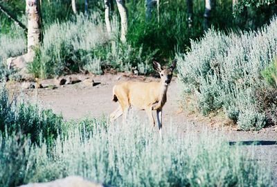7/8/05 Mule Deer. 7:30am Convict Lake Resort, Convict Lake, Inyo National Forest, Eastern Sierras, Mono County, CA