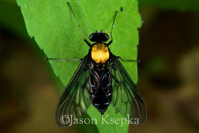 Chrysopilus thoracicus, Gold Backed Snipe Fly; Russell County, Virginia  2009-05-23  #9