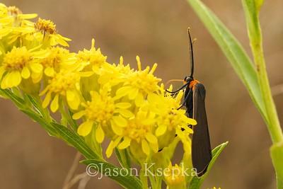 Ctenucha virginica, Large Black Moth on Solidago sempervirens, Seaside Goldenrod; Brooklyn, New York 10-8-08  1