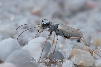 Ellipsoptera lepida, Ghost Tiger Beetle; Ocean County, New Jersey 2014-07-10   3