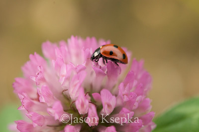 Coccinella sp, Ladybug; Fountain Ave, Brooklyn, NY 9-30-08 3