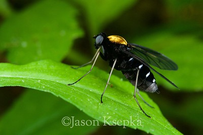Chrysopilus thoracicus, Gold Backed Snipe Fly; Russell County, Virginia  2009-05-23  #14