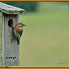 6/23/12 - Female Bluebird