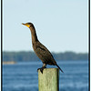 Double Breasted Cormorant - Island View Waterfront Cafe
