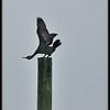 My funny little cormorant!
