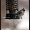 1/25/13 - Tufted Titmouse
