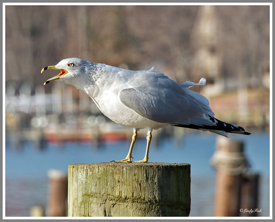 Not sure what type of seagull this is