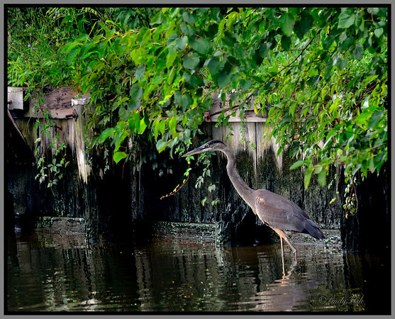 DAY 220 - AUGUST 15 - My Heron friend really posed today - couldn't resist posting 3