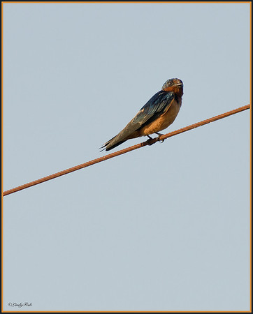 Barn Swallow  07/31/2012  (taken at Island View Waterfront Cafe)