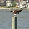 Osprey at Island View Restaurant...He/she loved to pose!