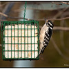 Downy Woodpecker-female