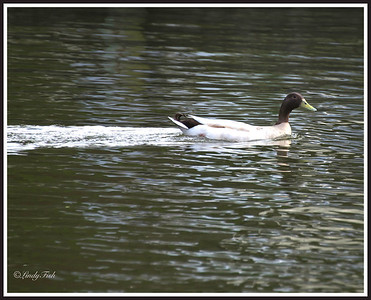 Just discovered this kind of duck - It is a Khaki Campbell (drake).  Have never seen it here before