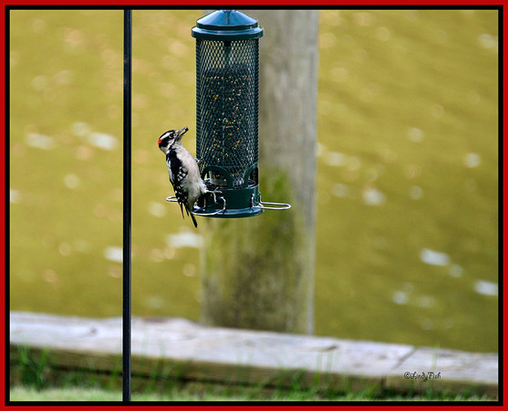 """This series of woodpecker shots are in """"reverse order"""".  He landed on the feeder, struggled to get the seed, and then....finally....success!"""