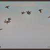 Geese, geese, geese