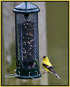 July 4 - An American Goldfinch.  First visitor to our new feeder.