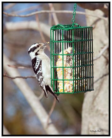 Downy Woodpecker-female