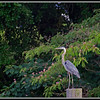 My favorite Heron.....Had been a few days since I saw him!
