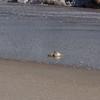 Canaveral National Seashore - Ghost Crab