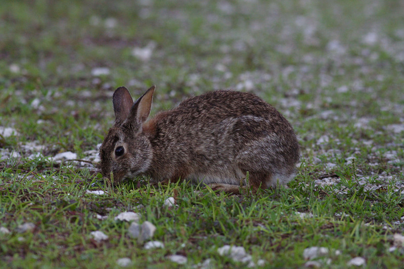Canaveral National Seashore - Eastern Cottontail