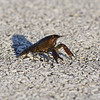 Canaveral National Seashore - Unknown Crayfish Species